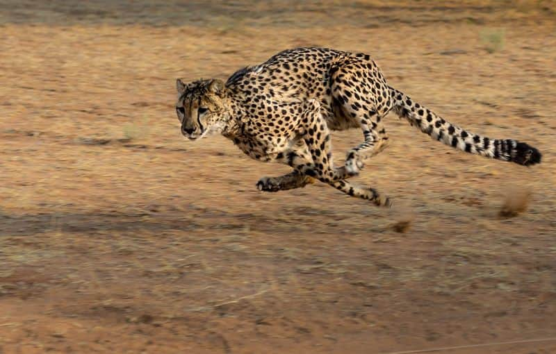 worlds fastest land animal cheetah returns to india after it became extinct in the country
