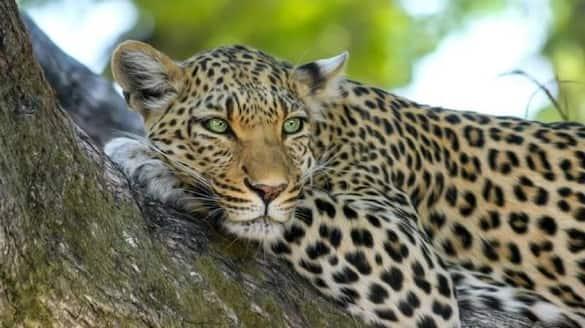 leopard spotted at burugupally in Mahabubnagar district