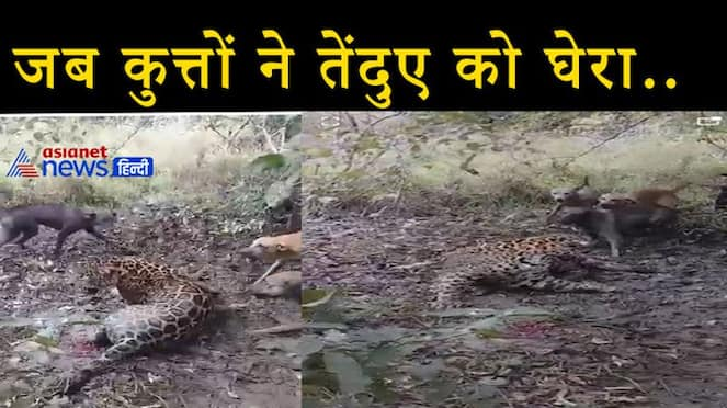 Dangerous leopard seen helpless in front of dogs in the forest, video of rare fight surfaced KPV
