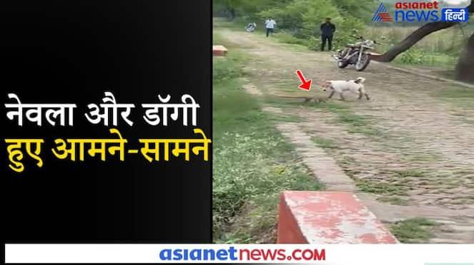funny jungle video of mongoose and dog KPV