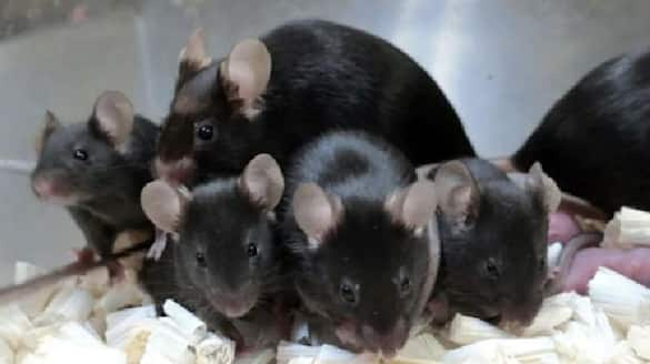 mouse sperm stored in space gives birth to healthy pups