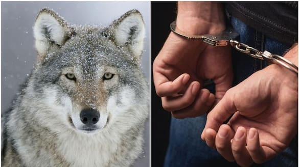 Man arrested in Dubai for trying to sell  wolf