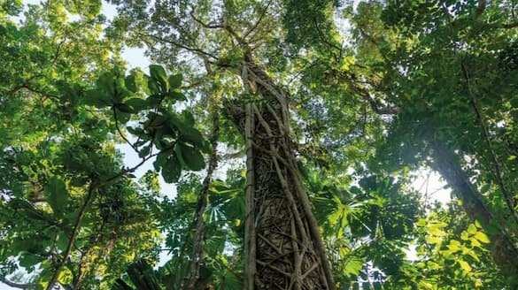 15 metre tree discovered in Andaman and Nicobar Islands bmm