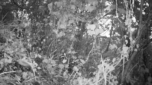 can you spot a tiger in this image
