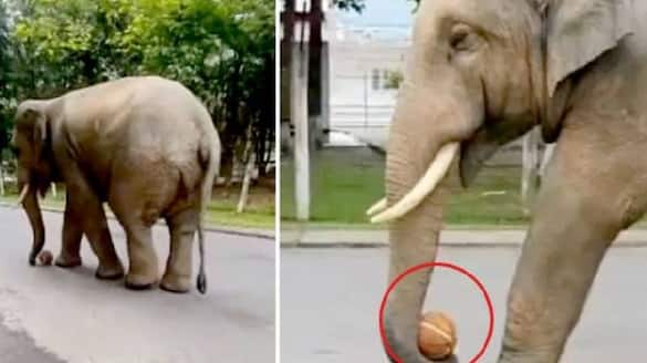 elephant plays with basketball in viral video