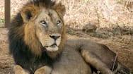 4 lions at chennai vandalur zoo tested corona virus delta variant positive