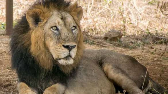 Another lion dies at Chennai zoo due to Covid-19 mah