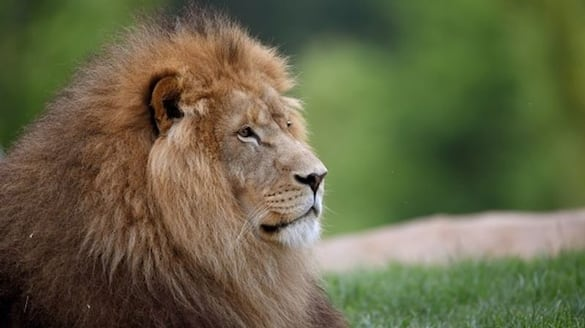 due to covid 19 another lion dies at Chennai zoo bsm