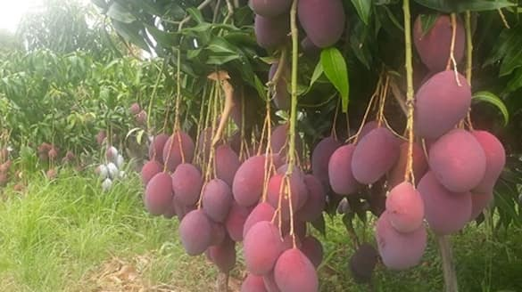 Couple grows world costliest mango priced at rs 2.70 lakh per Kg bmm