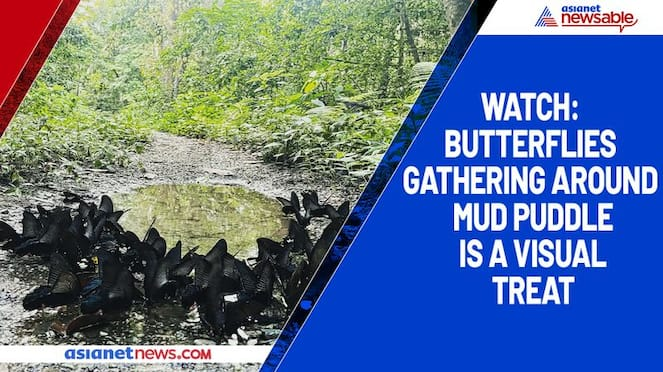 Watch Butterflies gathering around mud puddle is a visual treat-tgy