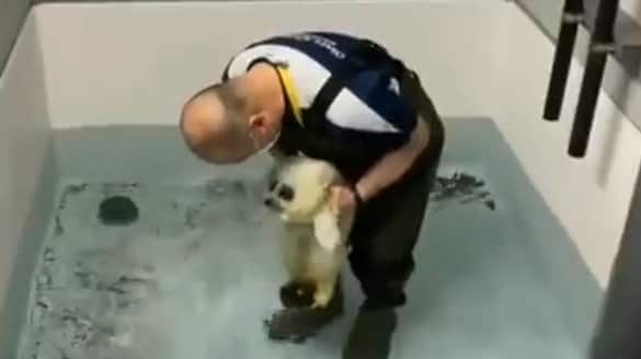 Baby Seal's Swim Lesson Will Melt Your Heart; Watch viral video - gps