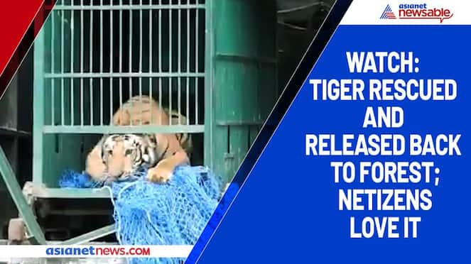 Watch Tiger rescued and released back to forest; netizens love it-tgy