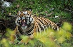 <p>tiger&nbsp;</p>