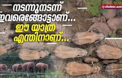 <p>15 Chinese Elephants Are on a Long March North. Why, No One Knows</p>