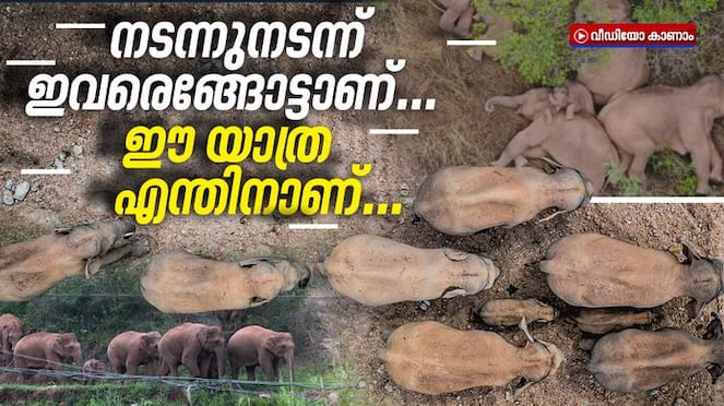 15 Chinese Elephants Are on a Long March North. Why, No One Knows