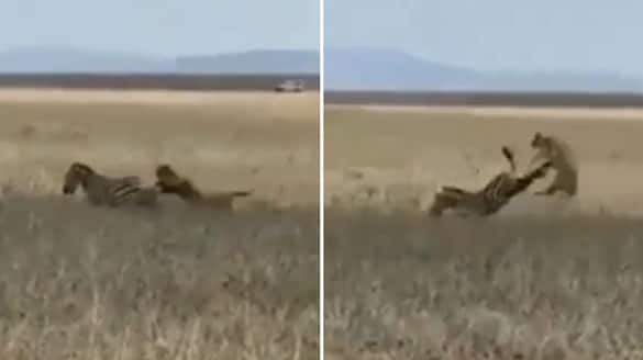 Zebra kicking away lioness while hunting goes viral; watch the video-tgy