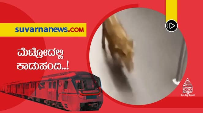 Super Special News Pig Rushes into Metro Video Viral hls