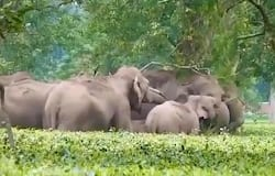 <p>Elephant family enjoys eating leaves and twigs together, video goes viral</p>