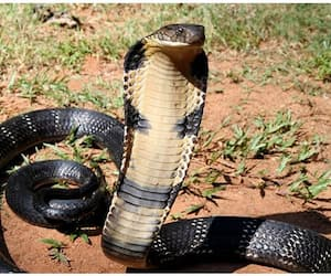 poisonous snakes are given as dowry in this community bmm