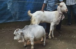 <p>Cow in Bangladesh, Small cow in Bangladesh, Smallest cow in the world</p>
