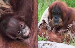 <p>Sumatran orangutan mom cradling her newborn baby wins hearts of netizens; watch the video</p>