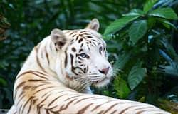 <p>white tiger&nbsp;</p>