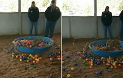 Joyful dog jumps into a pool of colourful balls; watch video