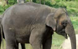 <p>Wild Elephant</p>