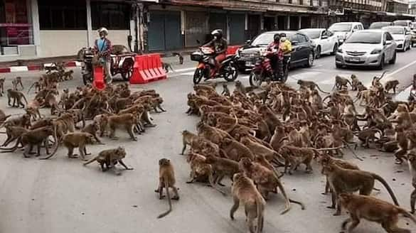 monkey group fight  in Thailand