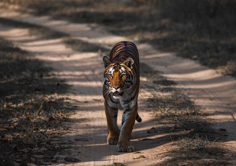 International Tiger Day special conservation focus India-VPN