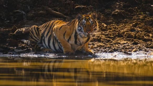 pm modi extends greetings to wildlife lovers on international tiger day 2021 bsm