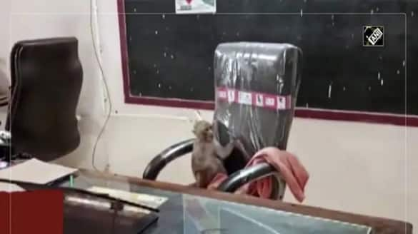 Monkey Takes Over Principals Chair in a School