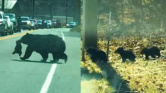 video in which bear struggles to cross road with its children