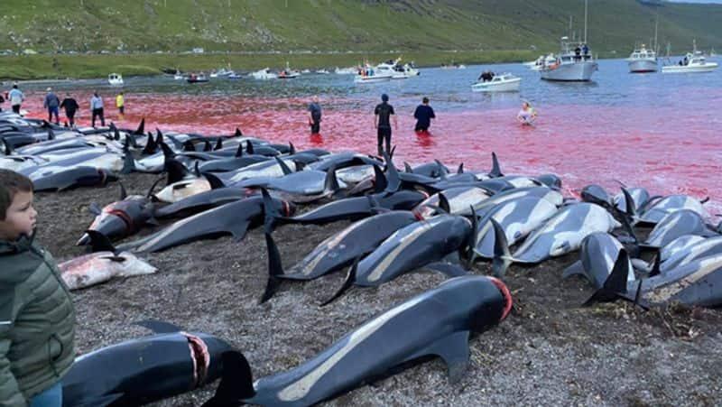 Denmark 1400 dolphins killed in Faroe Islands Photos goes viral