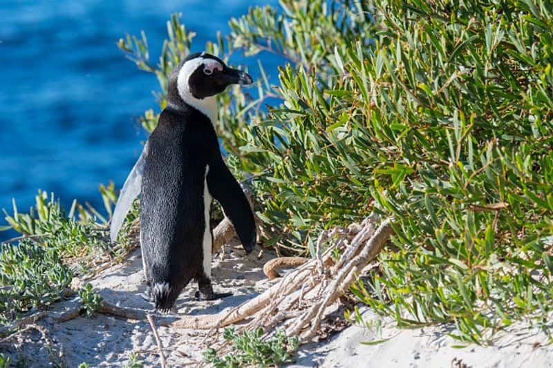 63 south african penguins killed by swarm of bees