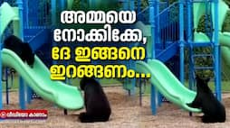Mama bear teaches her cub how to use the slide adorable footage