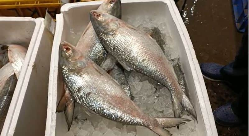 hilsa of padma reached in Mecheda wholesale fish market today bmm