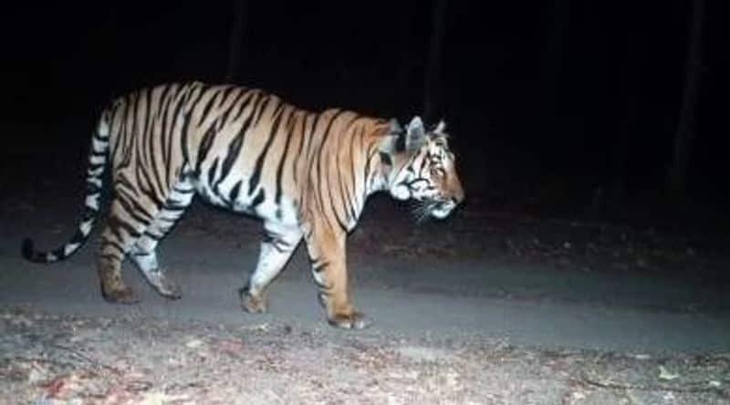 T23 Tiger search ooty