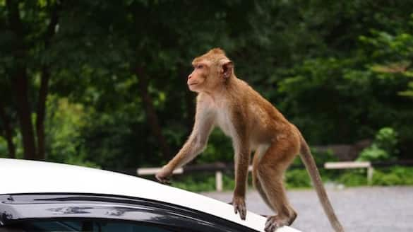 Stone thrown at housewife s head Monkey harassment is rampant in Pandanad