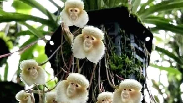 Picture of Dracula simia or Himalayan monkey flower goes viral on social media