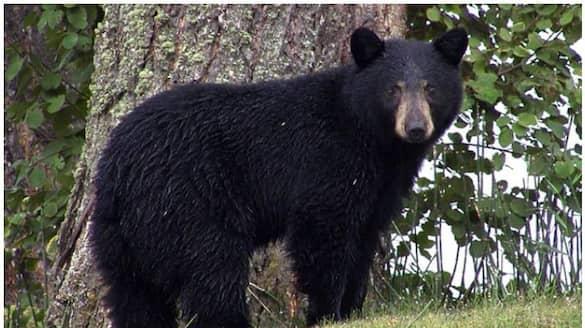 Himalayan Black Bear Enters Raj Bhavan In Sikkim