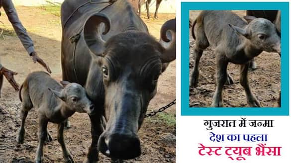 Insemination of buffalo for the first time in India with IVF technique