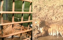 Two tigers die in a week at Mysore district