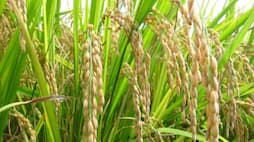 What kind of nutrient is given to rice and grass?