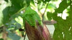 You can see a high yield in the eggplant by destroying these pests ...