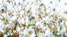 How to manage pest management in cotton Find the bachelor ...