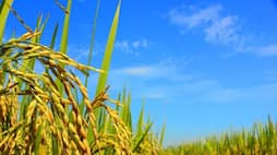 How important is the nitrogen for rice?